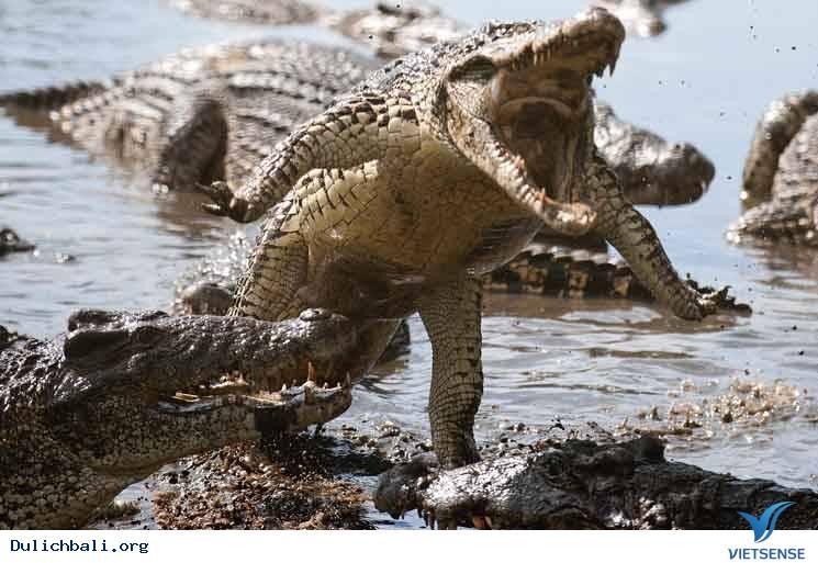 Indonesia Tính Sử Dụng Cá Sấu Để Canh Giữ Tội Phạm Ma Túy